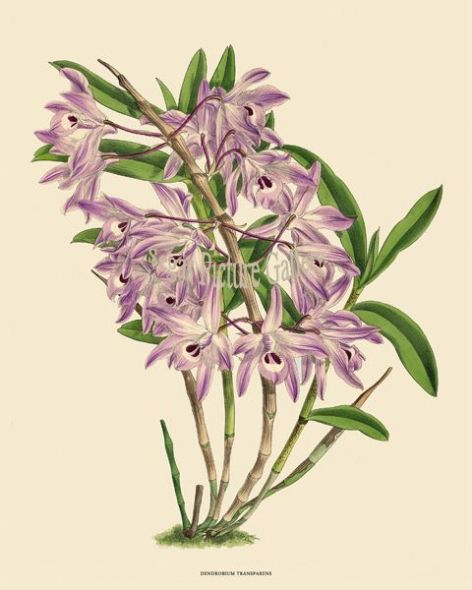 Fine art print of the Orchid Dendrobium Transparens by John Nugent Fitch